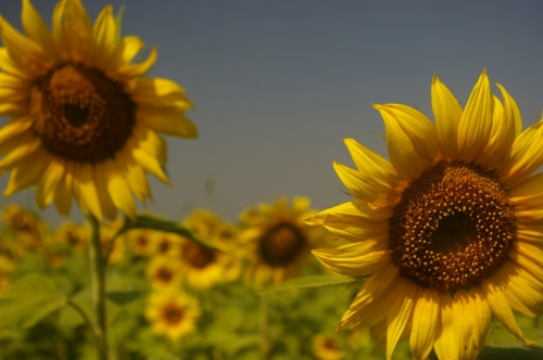 A patch of Sunflowers