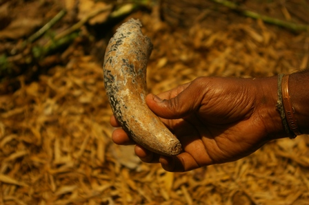 Cow's (not a Bull's) horn, the Cow is the cornerstone of Biodynamic farming